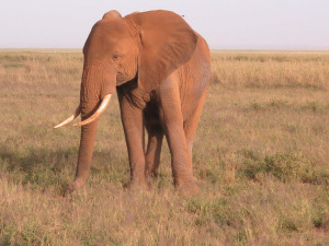 elephant-386762_1280